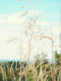 Champ de bannière naturel avec oreilles cadre vertical mise au point sélective d'épis de blé contre un coucher de soleil