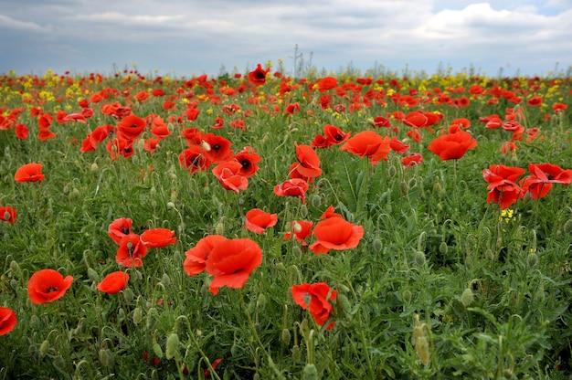Le champ avec de belles fleurs de pavot rouge vif au printemps