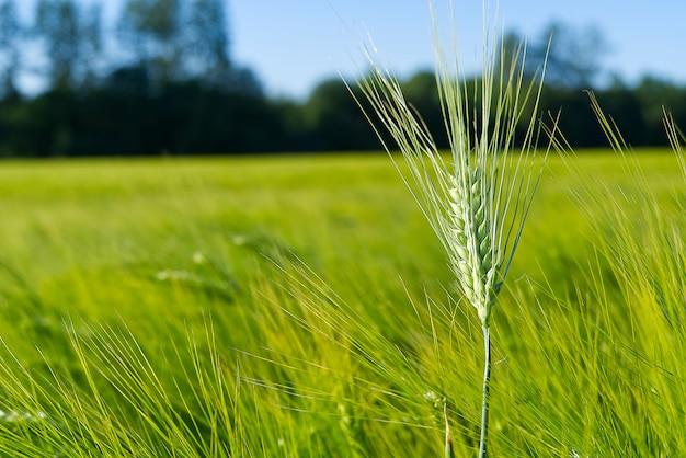 Champ biologique de blé vert se bouchent. mise au point sélective.