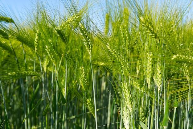 Champ biologique de blé vert se bouchent.