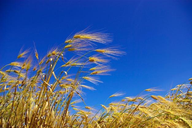 Champ de blé avec de l'air