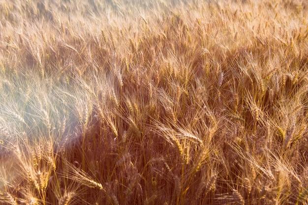 Champ de blé au coucher du soleil