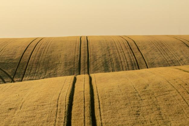 Champ de blé à l'aube.