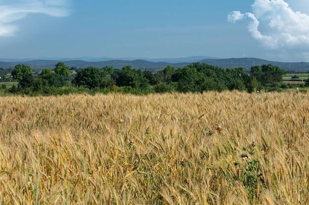 Champ de blé aux herbes avec un ciel bleu
