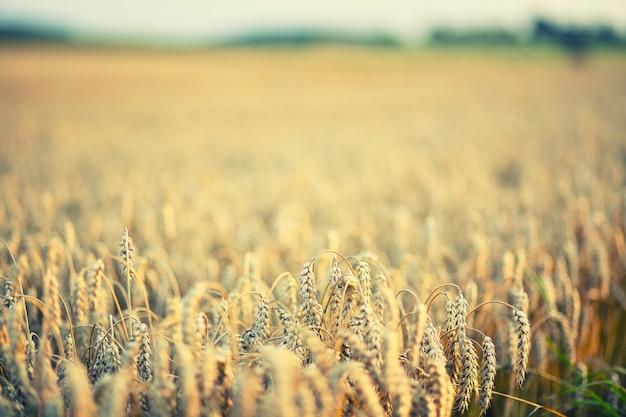 Champ de blé brun pendant la journée