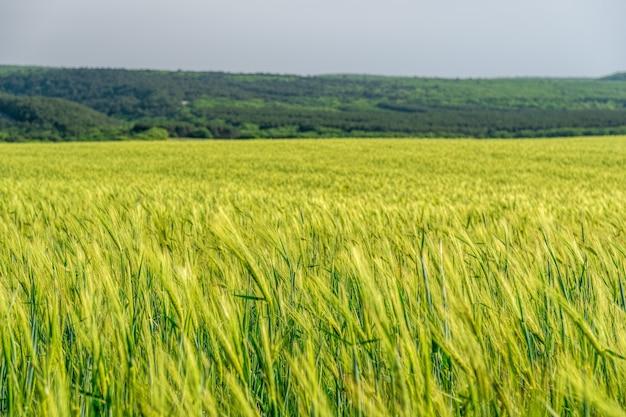 Champ de blé en campagne, gros plan. champ de blé dans le vent au printemps ensoleillé. épillets jeunes et verts.