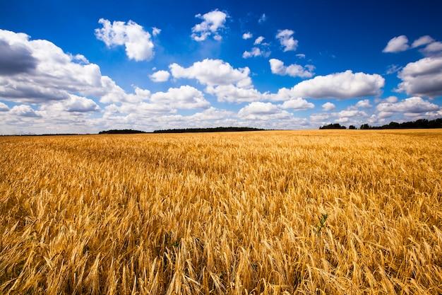 Champ de blé - un champ agricole sur lequel poussent du blé