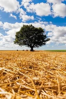 Champ de blé et chêne dans un domaine agricole, un chêne vert et de la paille après la récolte du blé