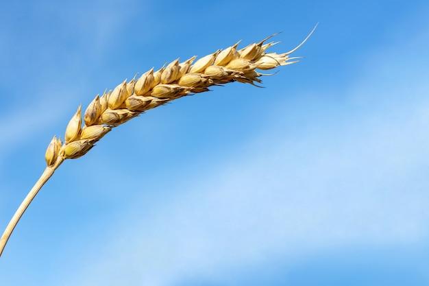 Champ de blé et ciel bleu au moment de la récolte. fermer