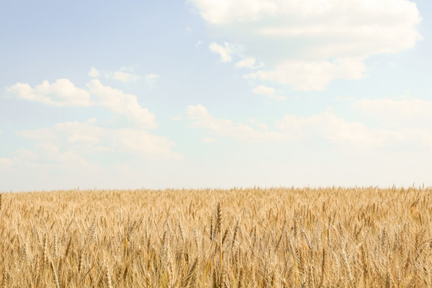 Champ de blé contre le ciel bleu nuageux