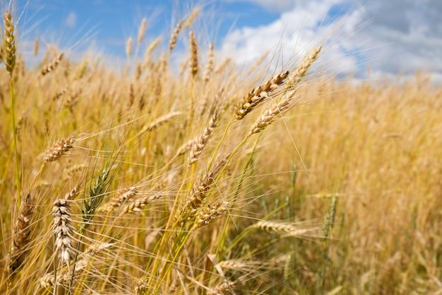 Champ de blé dans la saison des récoltes avec fond de ciel bleu