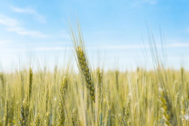 Champ de blé dans le village