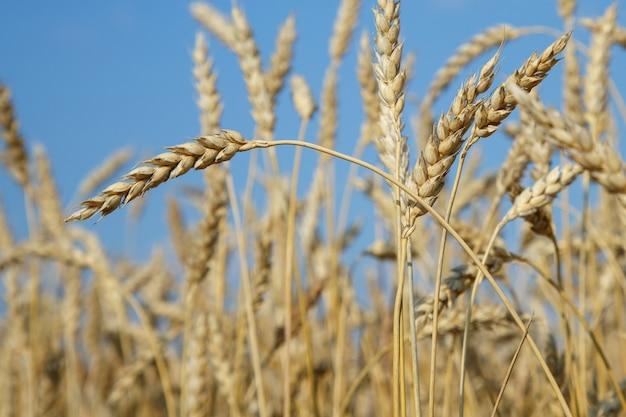 Champ de blé doré et ciel bleu