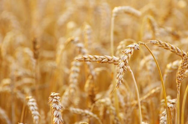 Champ de blé doré en été