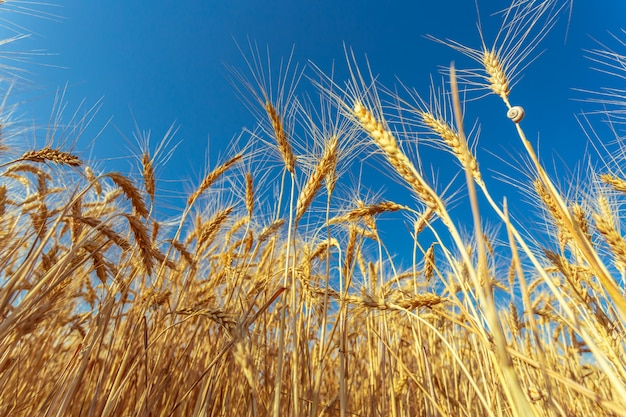 Champ de blé doré et journée ensoleillée