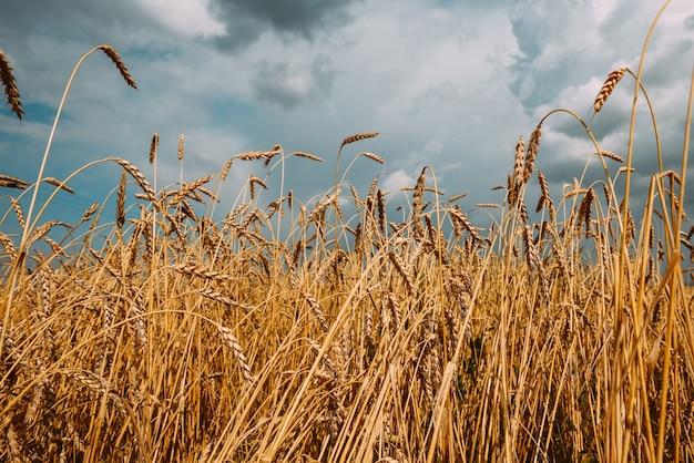 Champ de blé doré mûr contre un ciel nuageux