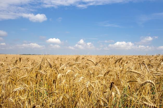 Champ de blé doré sous le ciel bleu et les nuages