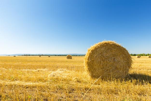Champ de blé doré