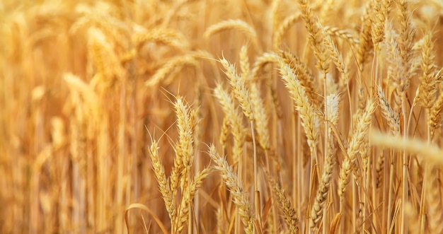 Champ de blé, épillets de blé