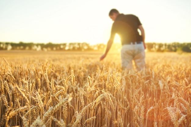 Champ de blé. épis de blé doré. beau paysage coucher de soleil. récolte de céréales mûres. homme