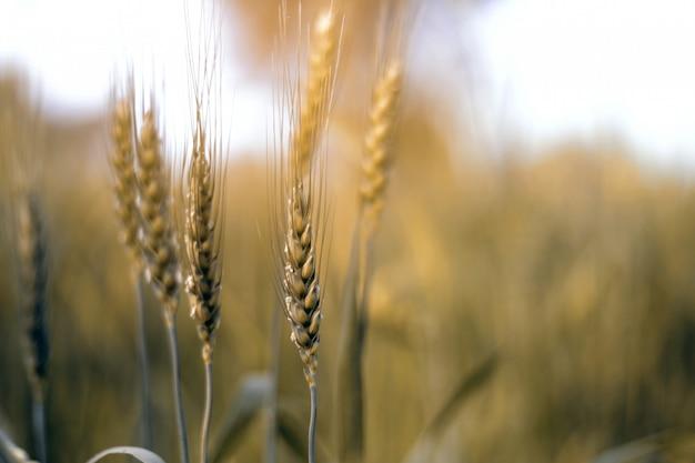 Champ de blé. épis, blé doré, gros plan