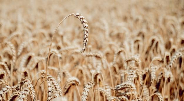 Champ de blé. épis de blé doré. riche récolte.