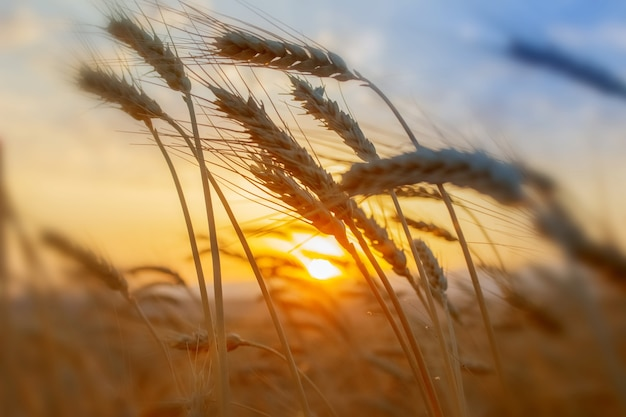 Champ de blé. les épis de blé doré se bouchent. concept de récolte