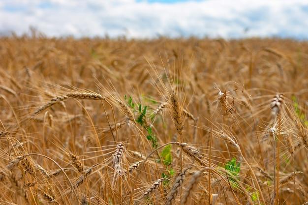 Champ de blé. les épis de blé doré se bouchent.