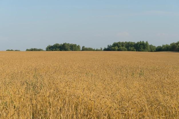 Champ de blé en été au coucher du soleil épis de blé mûrs à la ferme pendant la récolte d'été l'agriculture...
