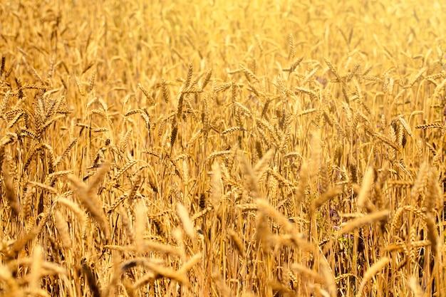 Champ de blé en été à côté d'un ciel bleu avec des nuages par une journée ensoleillée. belle nature