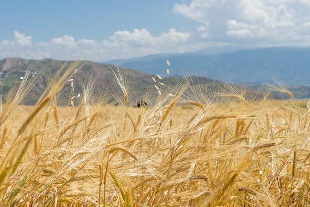 Un champ de blé à giresun, turquie - mer noire