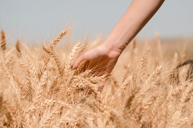 Champ de blé. gros plan de blé d'or.