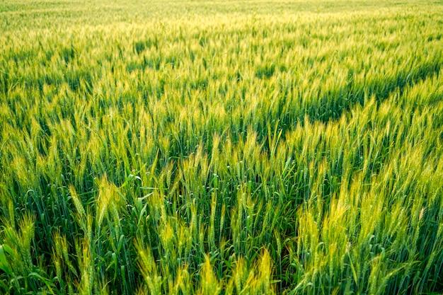 Champ de blé en inde