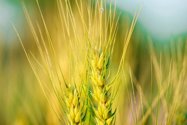 Champ de blé indien, agriculture indienne