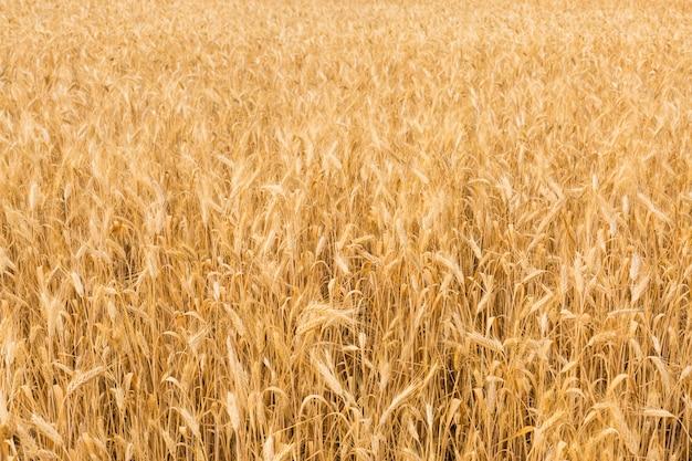 Champ de blé jaune en été.