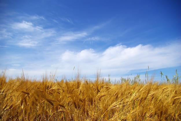 Champ de blé sur une journée ensoleillée