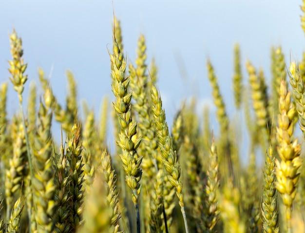 Champ de blé jusqu'au moment de la maturation, gros plan en été avec ciel bleu