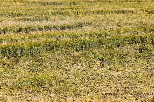 Un champ de blé sur lequel poussent des céréales vertes non mûres, cassées et pressées au sol après un orage et une pluie, un champ agricole avec du blé en été