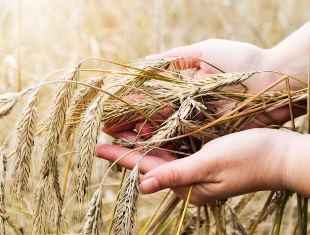 Champ de blé. mains tenant des épis de blé doré se bouchent
