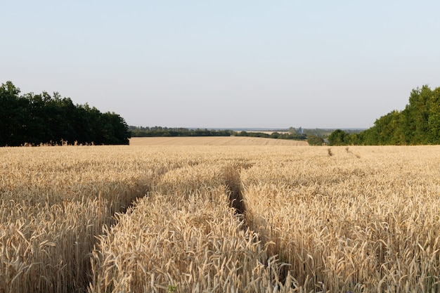 Un champ de blé mûr au coucher du soleil le soir. agriculture