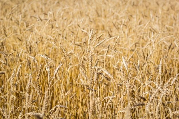 Champ de blé mûr avec des épillets d'or