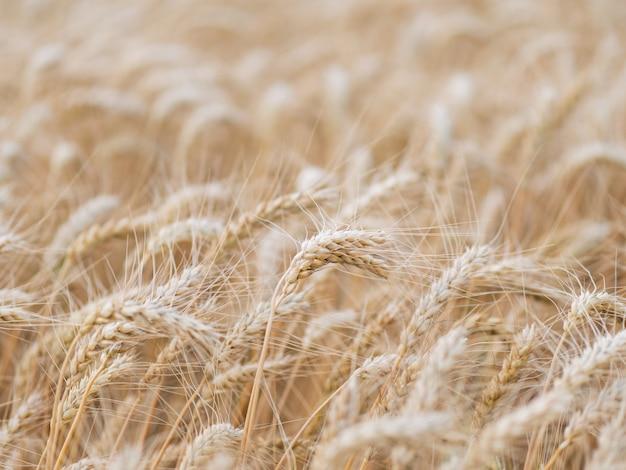 Champ de blé mûr
