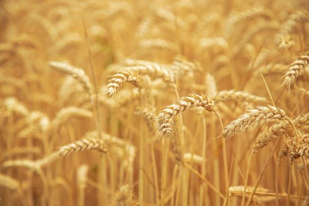Champ de blé par une journée ensoleillée.