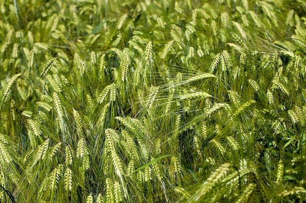 Champ de blé avec des plantes vertes immatures, activité agricole pour la culture du blé