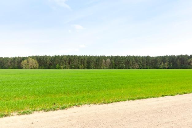 Champ de blé avec pousses vertes de blé au début de l'été ou à la fin du printemps, agricole