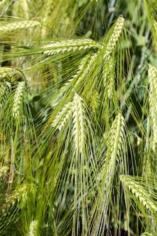 Champ de blé avec une récolte de blé immature