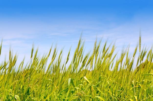 Champ de blé vert des baléares sur l'île de formentera