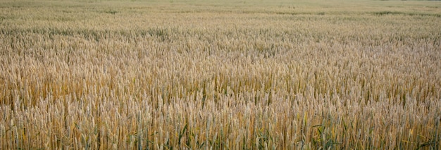 Champ de blé vert. beau paysage de coucher de soleil de la nature. fond d'épis de maturation du champ de blé des prés. concept de grande récolte et industrie des semences productives.