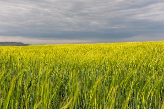 Champ de blé vert en campagne, gros plan. champ de blé dans le vent au printemps ensoleillé.