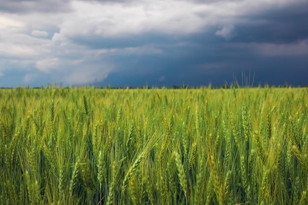 Champ de blé vert et ciel nuageux orageux. composition de la nature